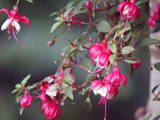 Ампельна рослина фуксія