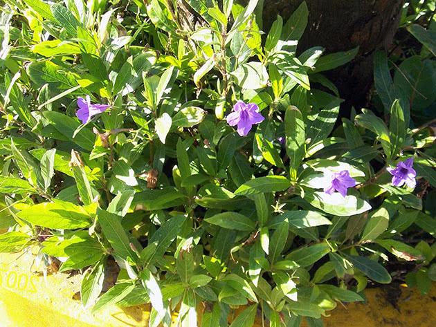 Ампельна рослина катарантус