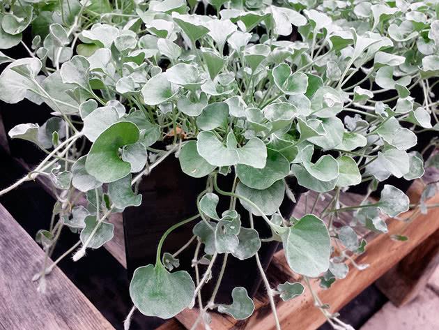 Ампельна рослина діхондра