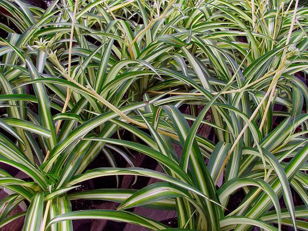 Ампельна рослина хлорофітум