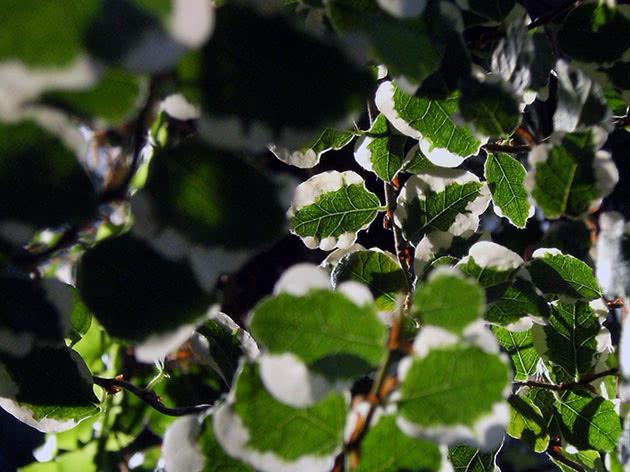 Ампельна рослина фікус