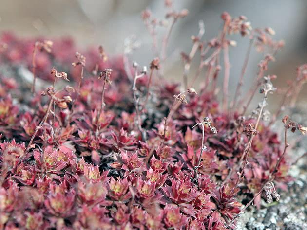 Ампельна рослина ломикамінь