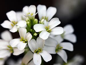 Квітка арабіс або резуха