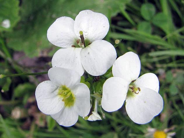 Арабіс альпійський (Arabis alpina = Arabis flaviflora)