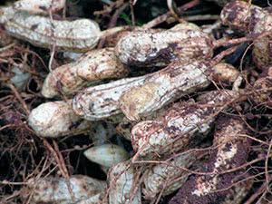 Рослина арахіс