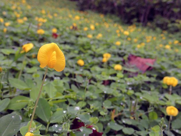 Цветение арахиса в саду