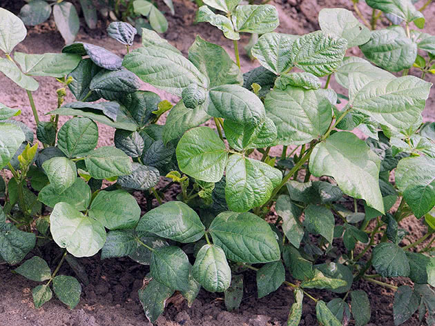 Вирощування арахісу в саду