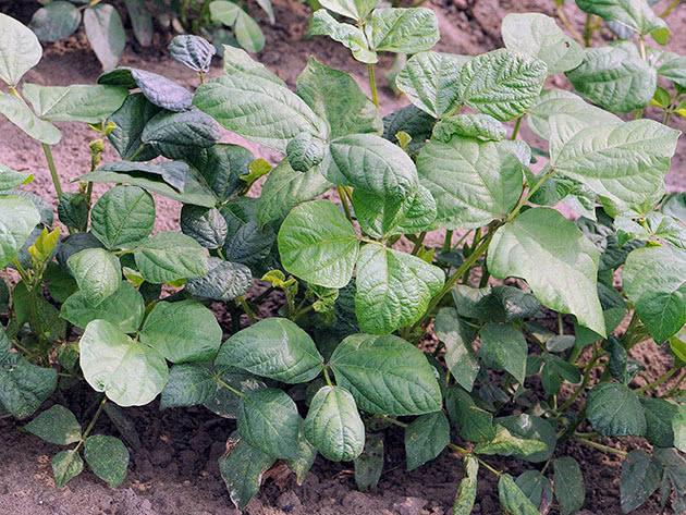 Як саджати і вирощувати арахіс