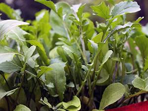 Посадка и выращивание рукколы