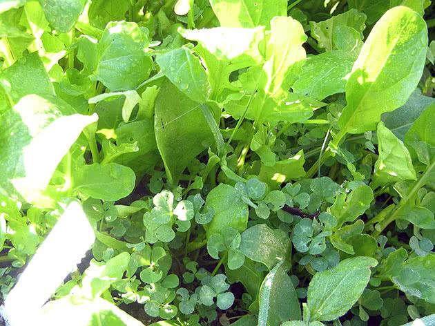 Выращивание рукколы из семян