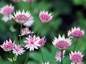 Квіти астранція