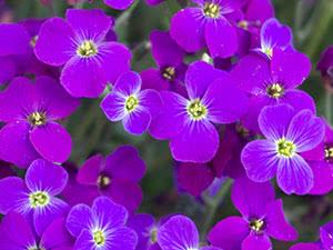 Цветок обриета