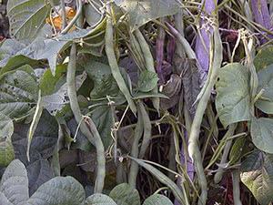 Растение фасоль