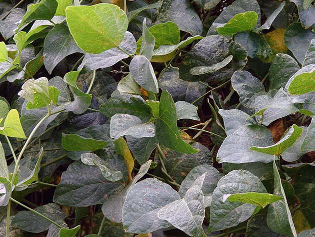 Умови вирощування квасолі