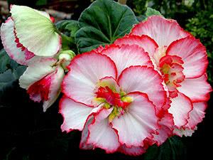 Квіти бегонія