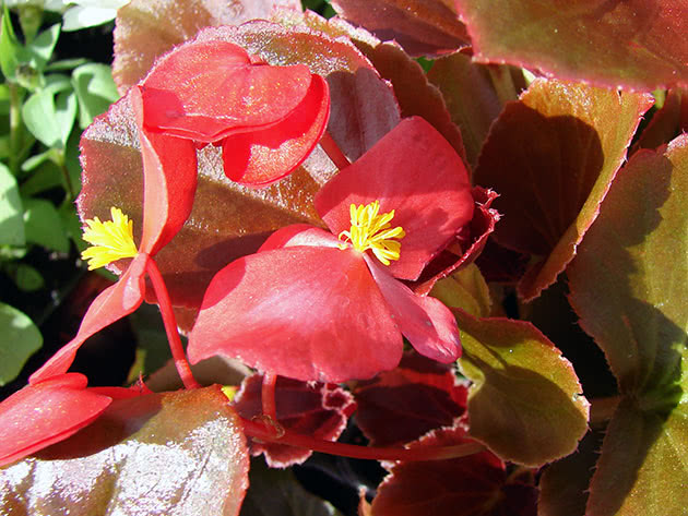 Planting and caring for begonia at home