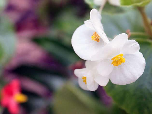 Flowering begonias at home