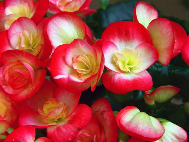 Begonia elatior (Begonia x elatior)