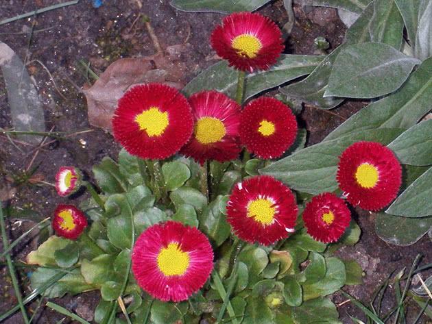 Цвітіння стокроток