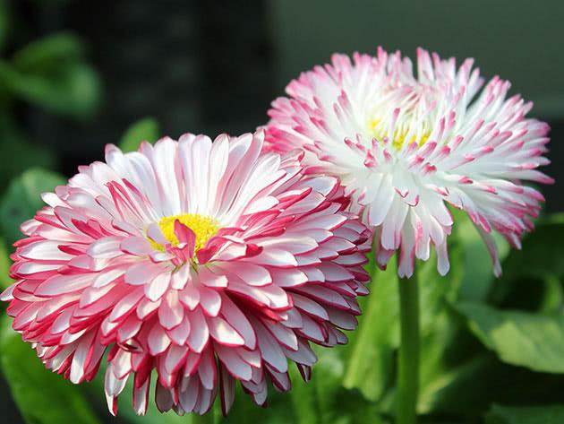 Квіти стокротки