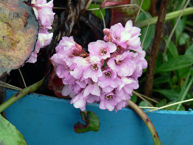 Бадан товстолистий (Вergenia crassifolia)