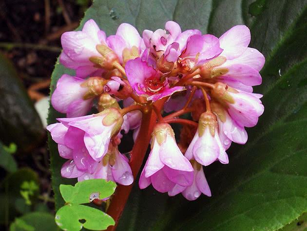 Бадан серцелистий (Вergenia cordifolia)