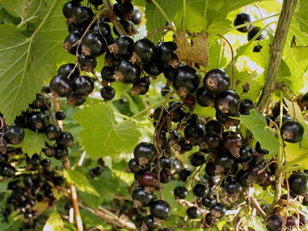 Как выращивать черную смородину
