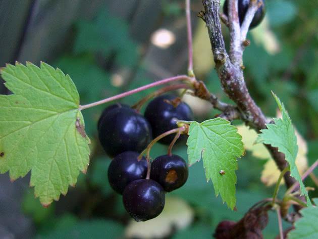 Крупные спелые ягоды черной смородины