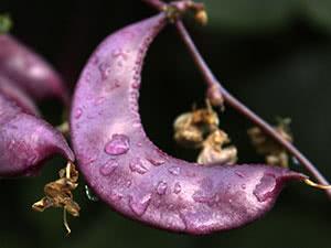 Бобові рослини – особливості вирощування