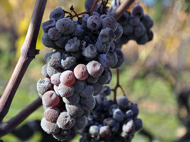 Сіра гниль на винограді – заходи боротьби