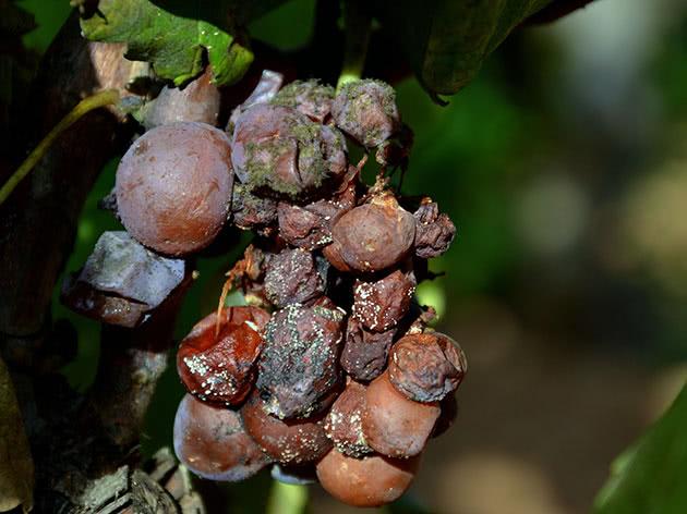 Як вилікувати сіру гниль на винограді