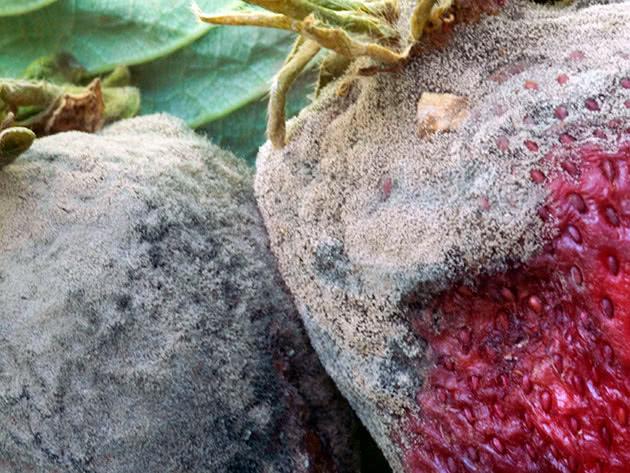 Сіра гниль на полуниці (суниці) – як боротися