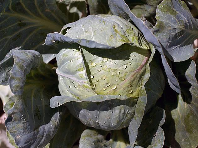 Посадка капусты и уход за ней в саду