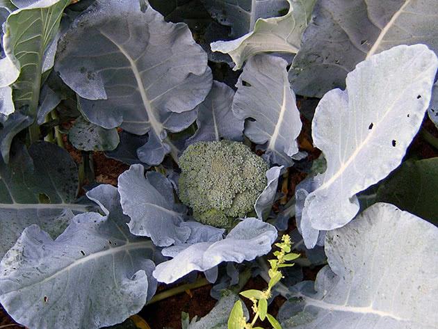 Посадка і догляд за броколі на городі