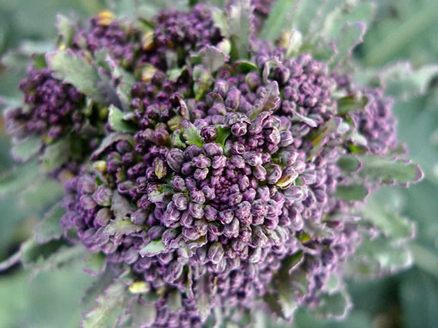 Сорт капусти броколі
