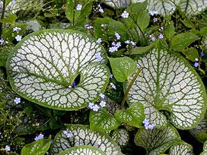 Растение бруннера