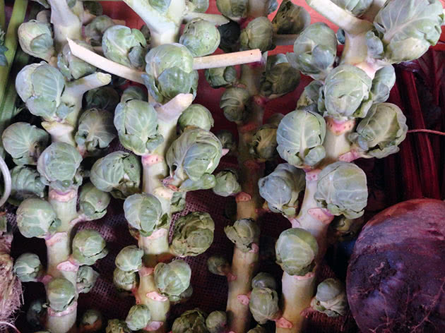 Как сажать и выращивать брюссельскую капусту в саду