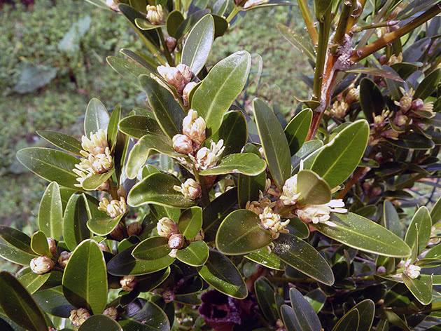 Самшит балеарский / Buxus balearica