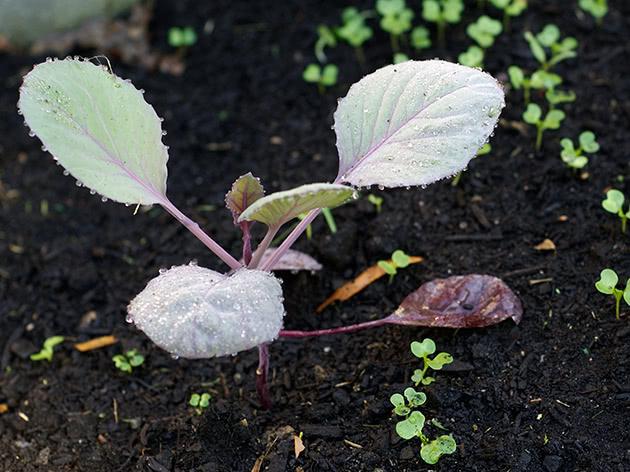 Как и когда сажать семена капусты на рассаду