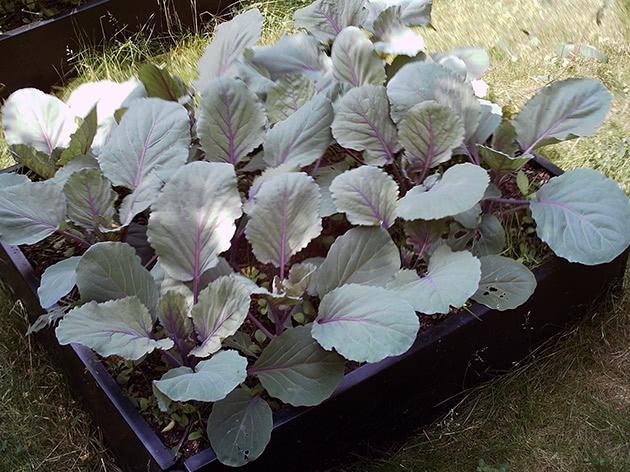 Полив и подкормка рассады капусты
