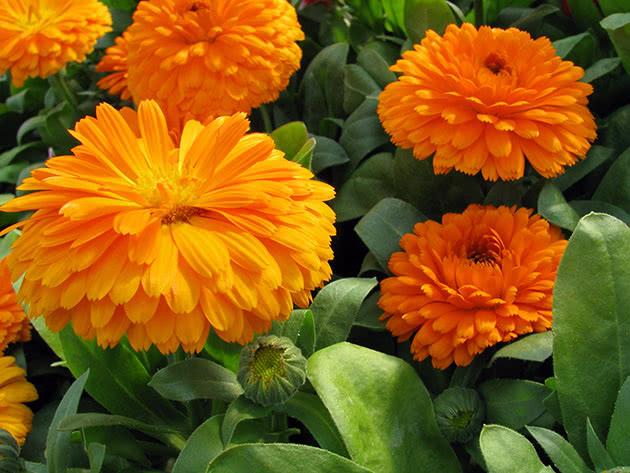 Квіти нагідки