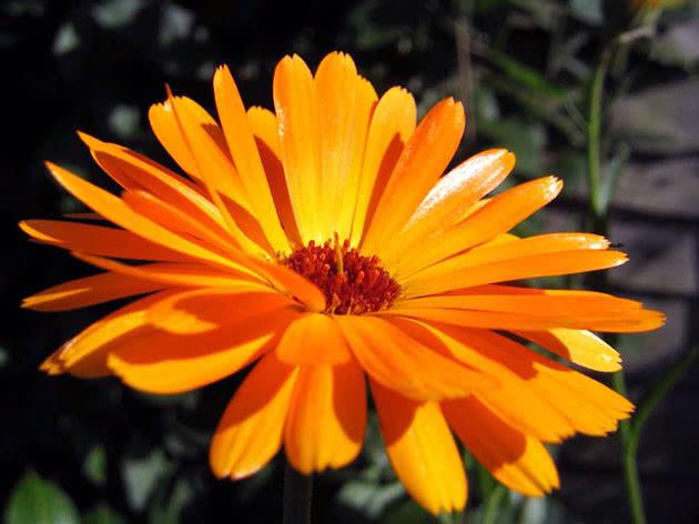 Цвітіння нагідок