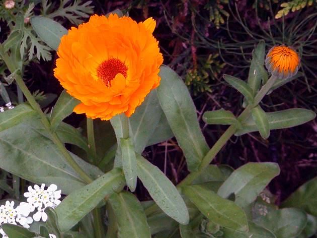 Нагідки лікарські (Calendula officinalis)