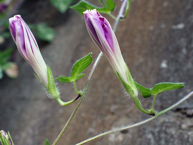 Как вырастить калистегию в саду и ухаживать за ней