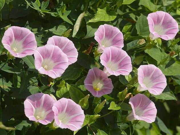 Калистегия пушистая (Calystegia pubescens)