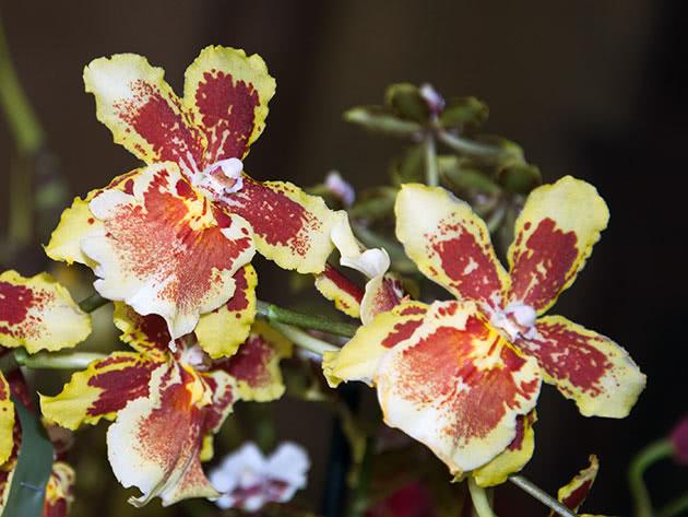 Види і сорти орхідеї камбрія