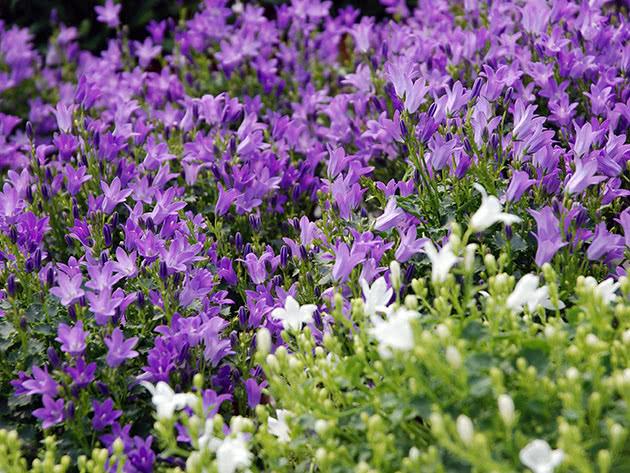 Уход за колокольчиками после цветения
