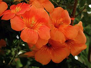 Квіти кампсис