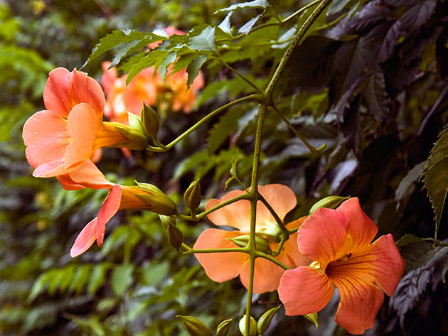 Кампсис крупноцветковый (Campsis grandiflora)