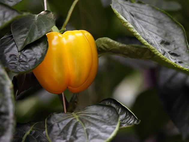 Как правильно выращивать в огороде сладкий перец